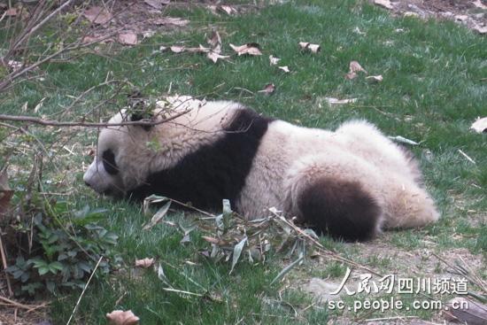 大熊猫懒小熊猫乖 成都国宝简直萌翻了!【2】