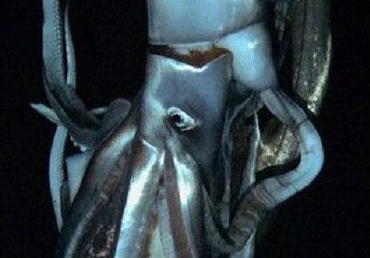 日本 巨型乌贼/【环球网综合报道】如果有一只身长8米的乌贼出现在你身边,你会...