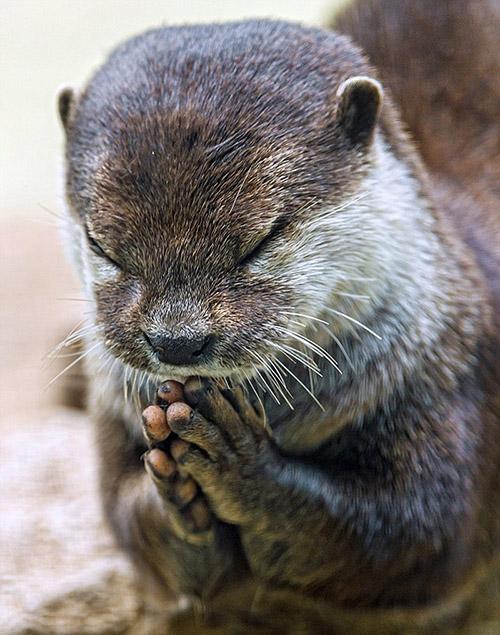 """抓拍瑞士可爱水獭饭前""""祈祷""""照"""