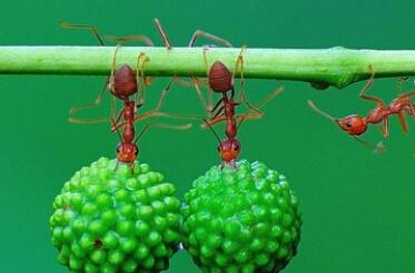 蚂蚁的力量有多大?