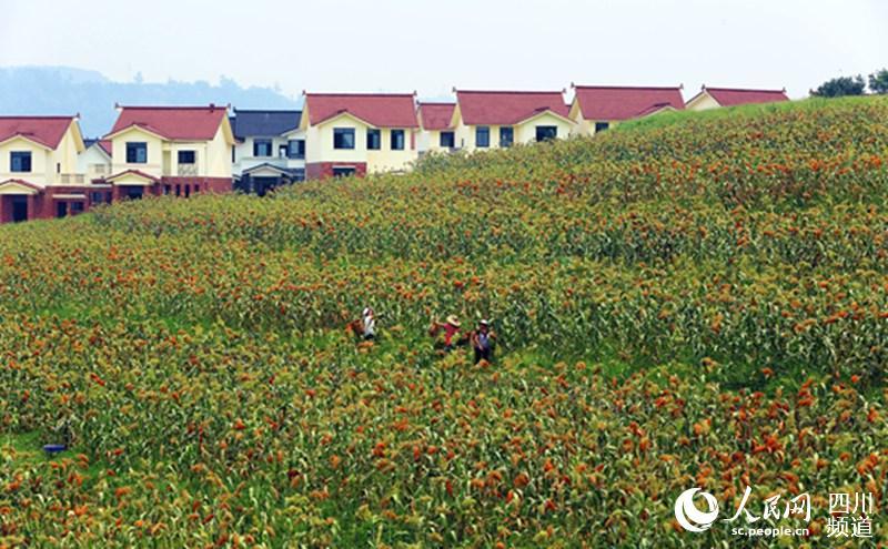 泸州市江阳区:业兴,家富的幸福美丽新村(组图)