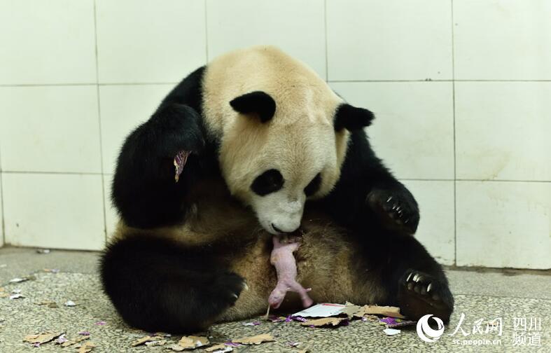 舔阴囹d)_大熊猫\