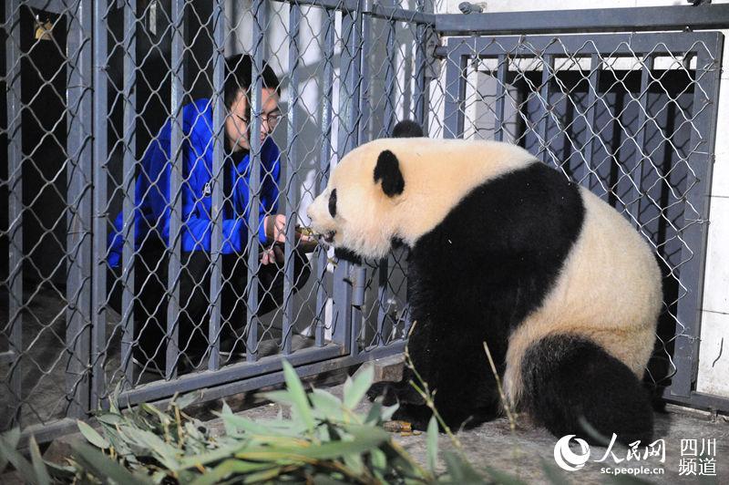 """旅美大熊猫""""宝宝""""平安回家 图片揭秘成长温馨瞬间"""