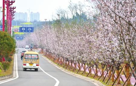 成都向南到眉山20余公里樱花长廊将迎来盛花期