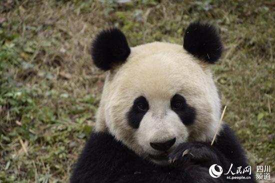 壁纸 大熊猫 动物 550_366