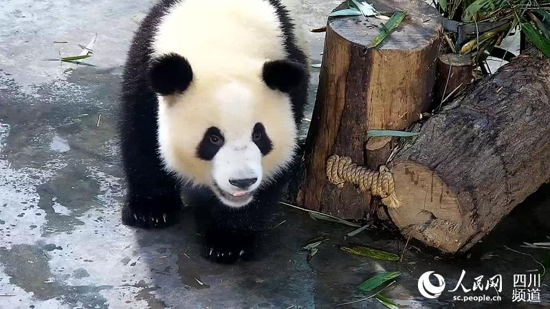 人民网成都7月7日电 (朱虹)今日,记者从成都大熊猫繁育研究基地(以下简称熊猫基地)获悉,今年1月底,兽医在例行体检时,发现大熊猫萌兰下颌骨部出现硬性肿大,血液学检查发现白细胞升高,但触诊时并未伴随发热和疼痛等表现。同时,萌兰的精神和食欲状态均表现正常。随即,熊猫基地组织医疗专家团队根据萌兰的临床表现,特别邀请华西口腔医院专家行了会诊,初步诊断为下颌骨骨髓炎并及时进行了抗感染治疗。 此后,熊猫基地兽医每周对萌兰的下颌骨部进行跟踪复查,均未发现异常。5月8日,兽医在对萌兰进行例行跟踪复