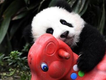 新生大熊猫宝宝卖萌