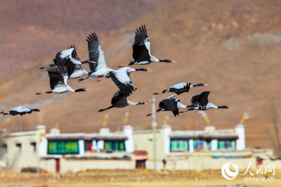 黑颈鹤的幸福生活