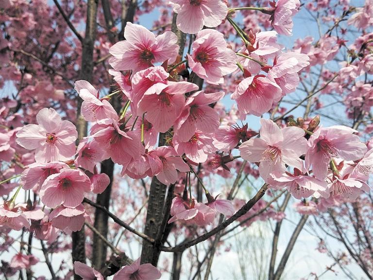 阳春三月 赏樱眉山