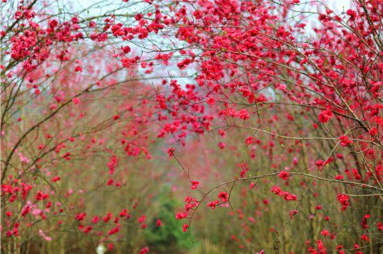 阳春三月层林尽染 德阳中江太安百里桃花笑春风