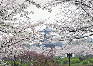 三月赏樱何需出境