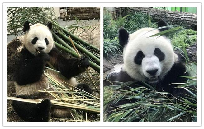 成都旅加大熊猫乔迁新居后首次亮相