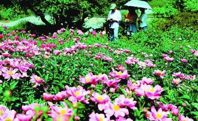 北京植物园芍药花开
