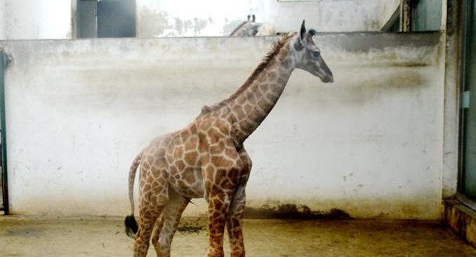 动物园新生长颈鹿宝宝正式与游客见面