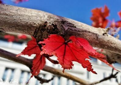 哈尔滨枫叶红了