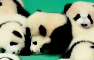 聚焦海归大熊猫