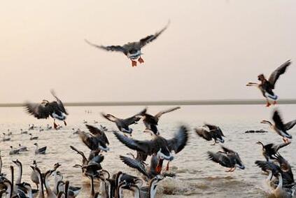 大批候鸟飞越鄱阳湖越冬