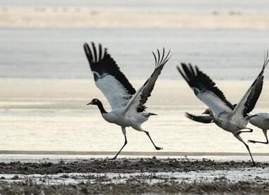 黑颈鹤的冬日家园