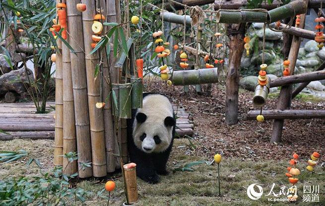 """年味渐浓 成都大熊猫签收新春水果""""大礼包"""""""
