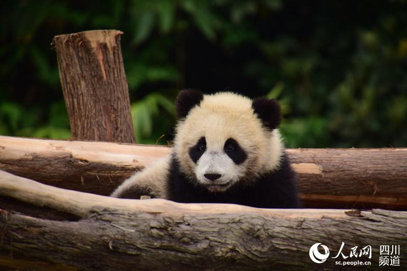 """熊猫""""如意""""""""丁丁""""即将启程赴〖俄罗斯 开展为期15年的保护研究合作"""