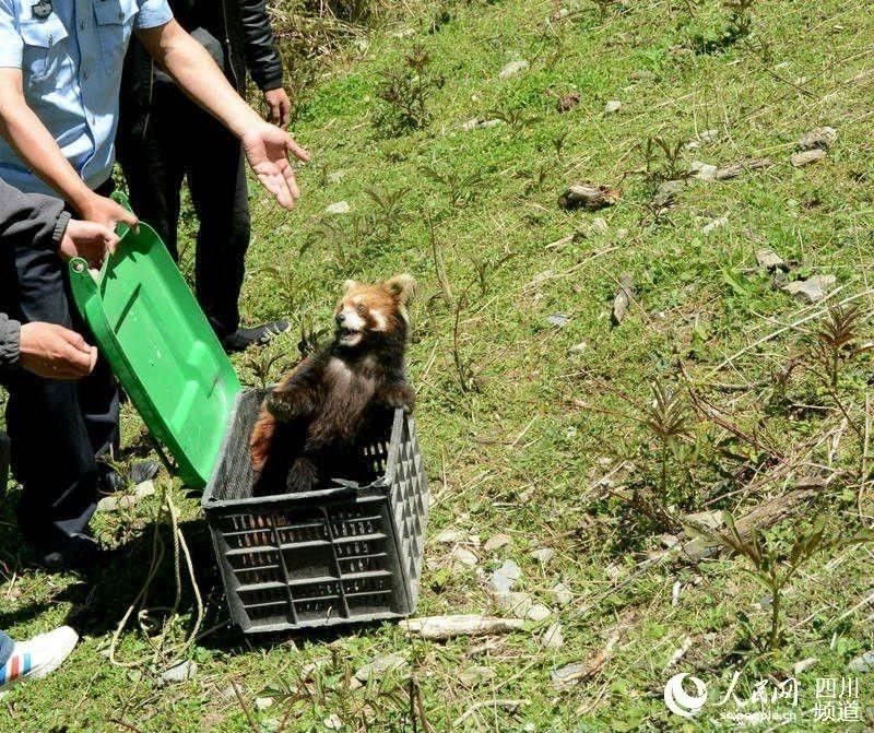 四川小金县救助走失的小熊猫 病愈后放归大自然