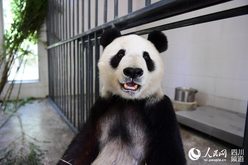 """旅美大熊猫""""白云""""""""小礼物""""今日回到阔别23年的家乡四川"""