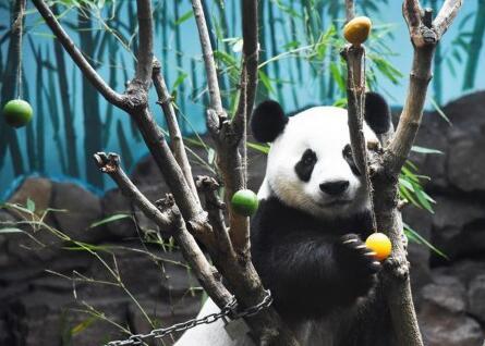 大熊猫空调房里清凉一夏