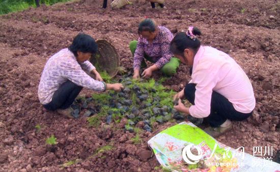 村民正在拆除培育芦笋苗的营养杯。