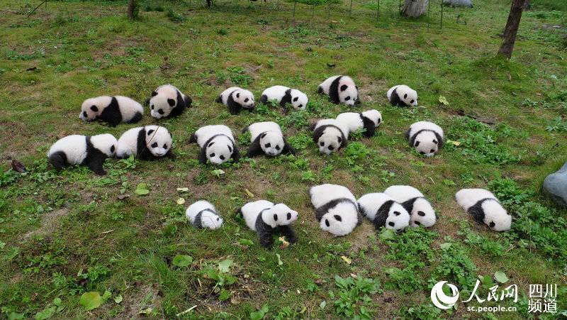 人民網成都10月2日電 (朱虹)日前,記者從中國大熊貓保護研究中心獲悉,隨著大熊貓蘇琳產下一對雙胞胎,中國大熊貓保護研究中心(以下簡稱熊貓中心)圈養大熊貓種群數量正式突破300隻。 據悉,熊貓中心的科研團隊經過十余年的攻堅克難,使95%的大熊貓能正常發情,80%的育齡雄性大熊貓能自然交配,自然交配和人工授精雙管齊下,讓75%育齡雌性大熊貓和50%育齡雄性大熊貓繁殖了后代,並模仿母獸育幼環境開展人工育幼,採集產仔母獸母乳,研制出了人工配方乳,成功破解圈養大熊貓發情難配種受孕難育幼成活難三