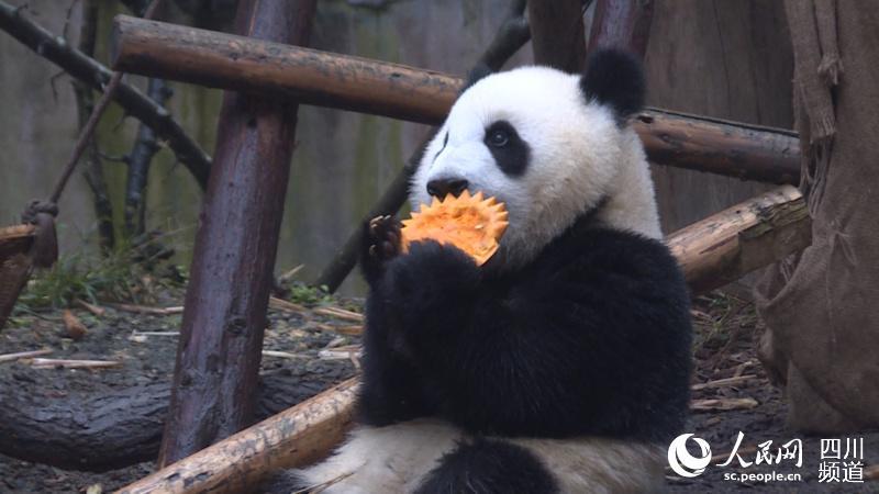 人民网成都11月1日电 (朱虹)丰容是旨在提升动物福利,帮助动物身心健康,为圈养条件下的野生动物增加生活情趣,促进它们展示更多自然行为而采取的一系列措施的总称。 一直以来,成都大熊猫繁育研究基地的专家们以原生态、贴近自然为核心理念,大量使用楠竹筒、竹编物、木板、树枝、麻绳等物品制作多种不同形态的益智喂食器等丰富物品,尽量减少及避免铁件及塑料制品为原材料的丰富物品。今年万圣节,饲养员们就制作了众多南瓜道具,让大熊猫们享受一次南瓜盛宴的快乐。