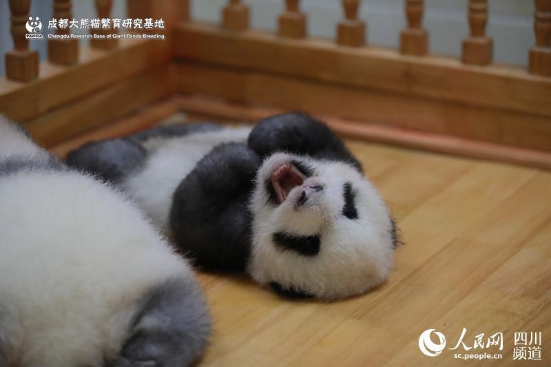 可爱的大熊猫(图片由成都大熊猫繁育研究基地提供)