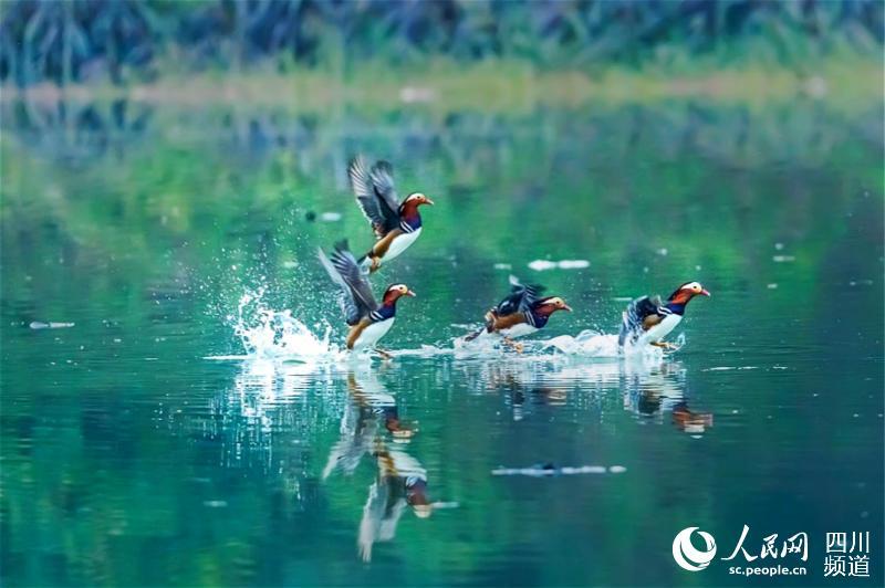 鸳鸯即将从水中起飞。邵军 摄