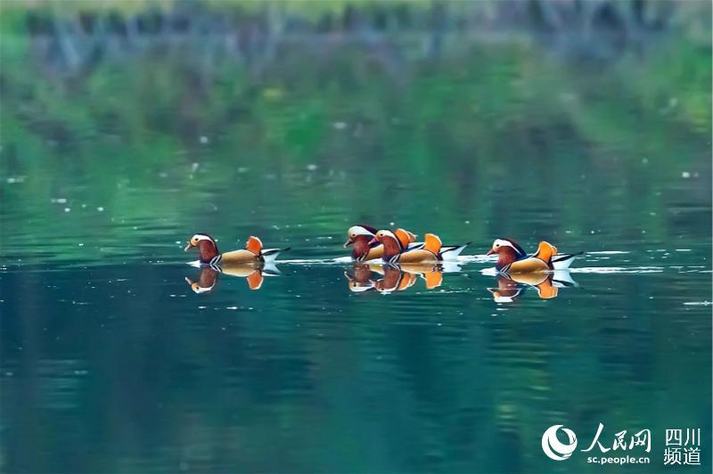鸳鸯在锦江天府新区段游玩。邵军 摄