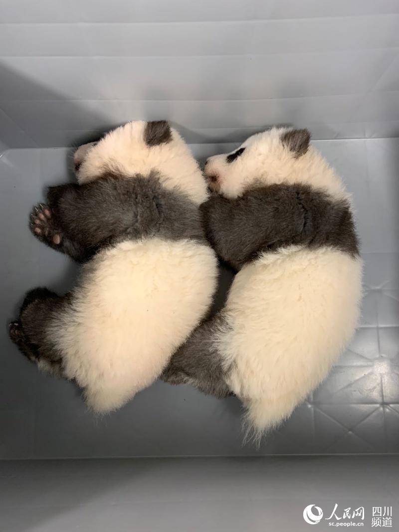 """大熊猫""""梦想""""和""""梦圆""""(图片由成都大熊猫繁育研究基地提供)"""