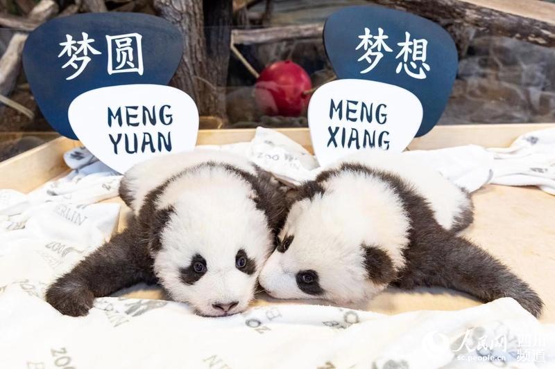 """大熊猫""""梦想""""和""""梦圆""""(图片由德国柏林动物园提供)"""