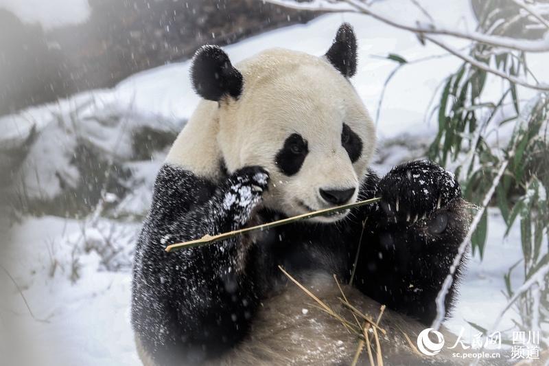大熊猫二喜(图片由济南野生动物世界提供)