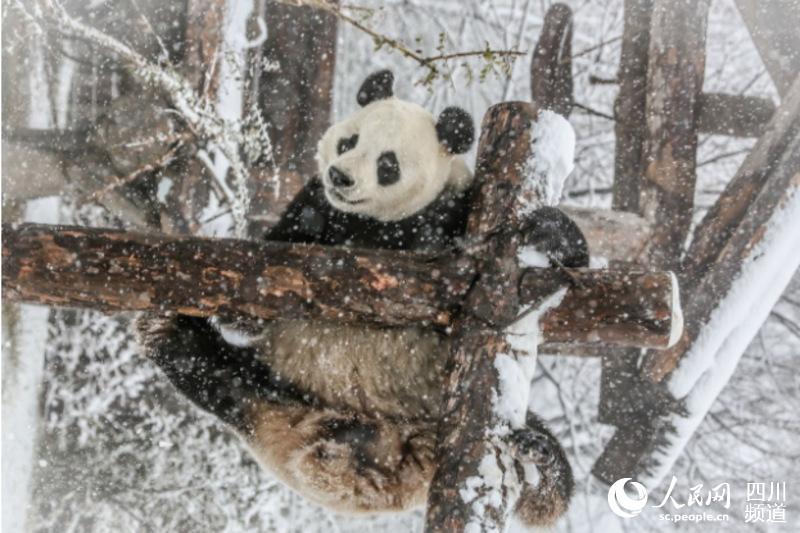 大熊猫娅双(图片由济南野生动物世界提供)