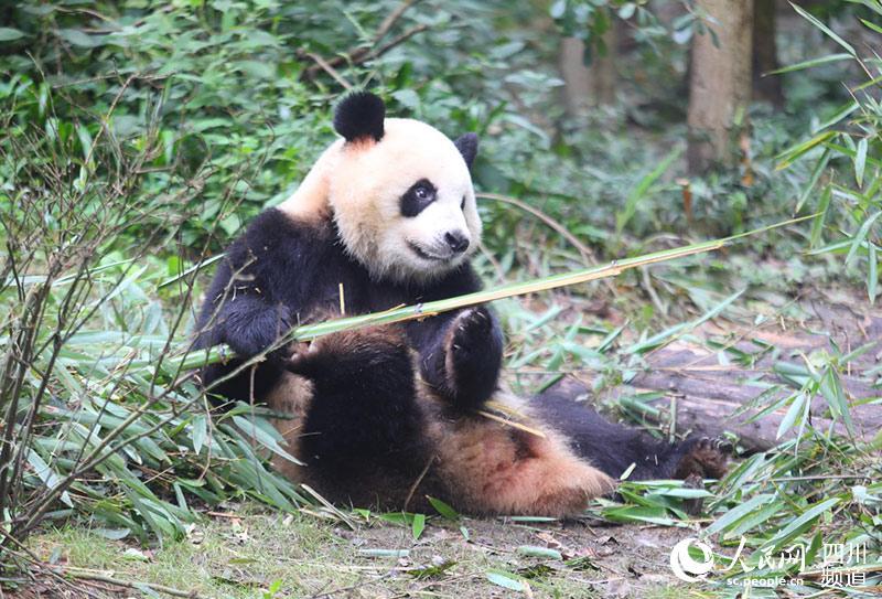 """成都大运会吉祥物""""蓉宝""""的真实形象大熊猫""""芝麻""""。成都大运会组委会供图"""