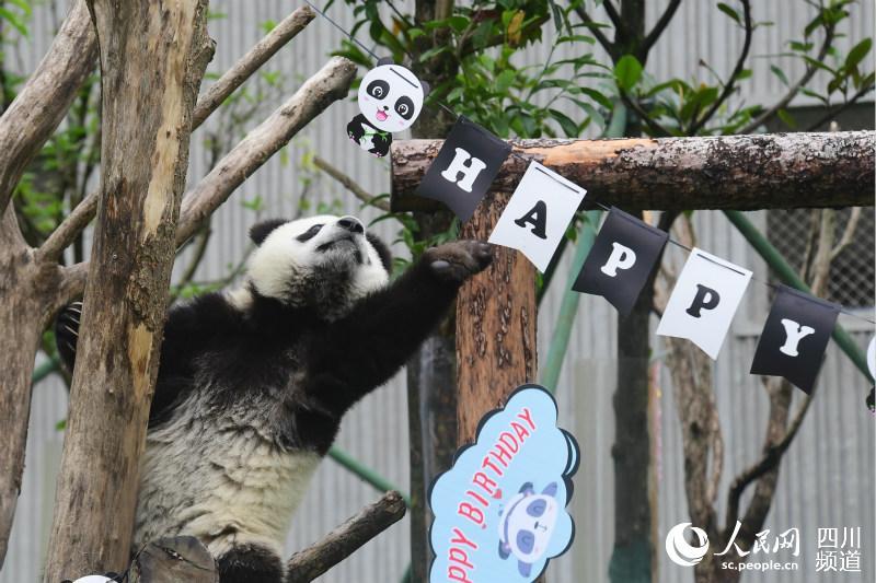 熊猫宝宝集体生日会。李传有 摄