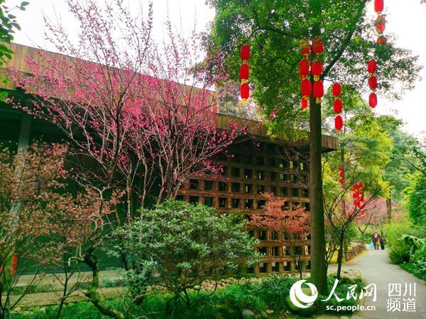 【新春走基层·文化成都】成都杜甫草堂:红梅花开春意闹