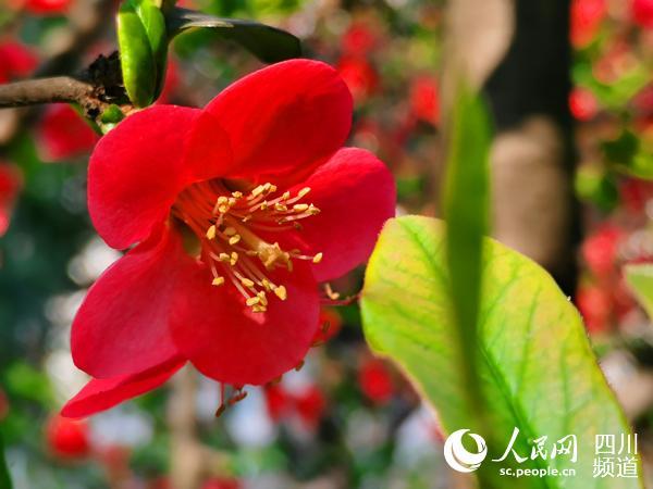 春风解语,羞红海棠脸。人民网 刘海天摄