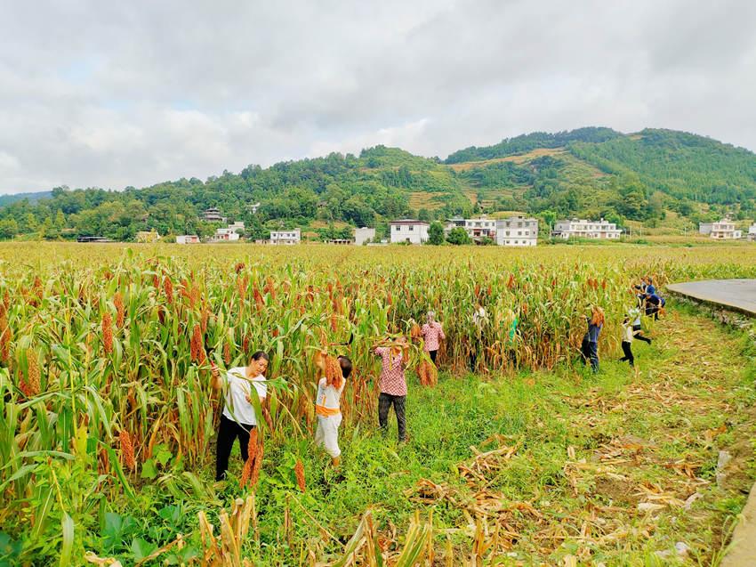 村民收割高粱。古蔺县融媒体中心供图