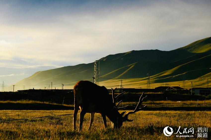 被救助的国家Ⅰ级重点保护动物——白唇鹿。人民网 朱虹摄