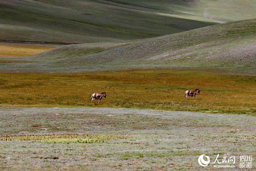 藏野驴。人民网 朱虹摄